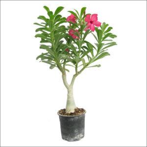 Yoidentity Adenium Plant (Pink)