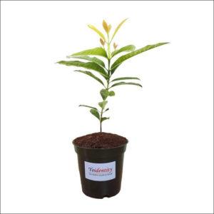 Yoidentity All Spice Plant