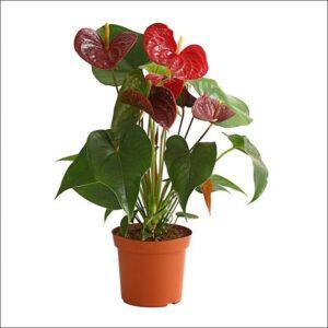 Yoidentity Anthurium (Maroon)