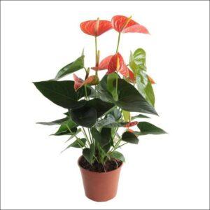 Yoidentity Anthurium (Orange)