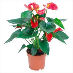 Yoidentity Anthurium (Red)