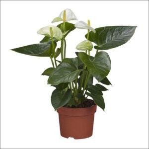 Yoidentity Anthurium (White)