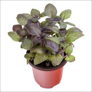 Yoidentity Basil Plant (Red)