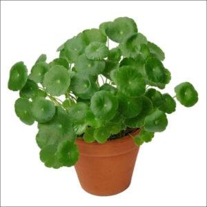 Yoidentity Brahmi Plant