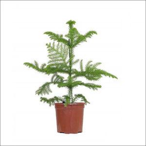 Yoidentity Christmas Tree Plant