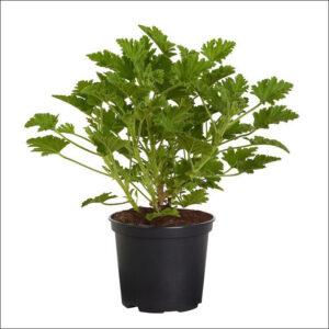 Yoidentity Citronella, Odomas Plant