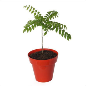 Yoidentity Curry Leaves Plant