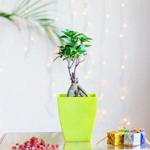 Yoidentity Ficus Bonsai Gift