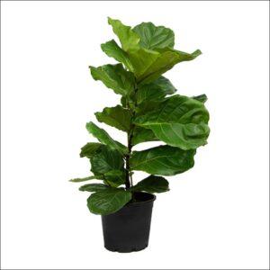 Yoidentity Ficus Lyrata, Fiddle Leaf Fig Plant
