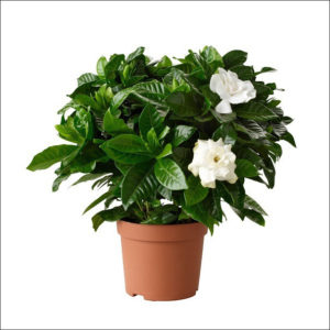 Yoidentity Gardenia Plant