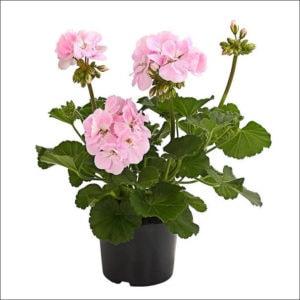 Yoidentity Geranium (Light Pink)