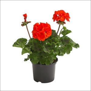 Yoidentity Geranium Plant (Orange)