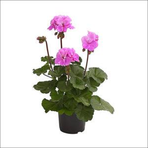 Yoidentity Geranium Plant (Purple)