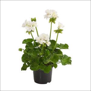 Yoidentity Geranium Plant (White)
