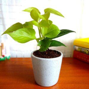 Yoidentity Golden Money Plant Gift