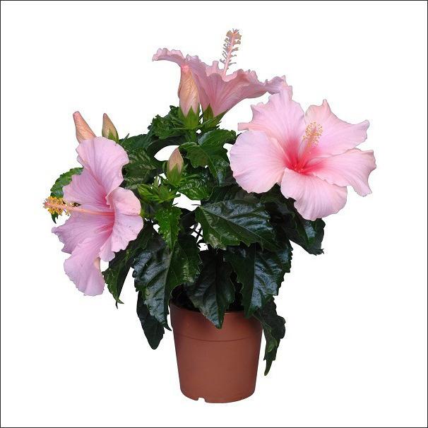 Buy Plants Online Online Plant Nursery In Bangalore