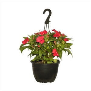 Yoidentity Impatiens (Red) Hanging Plant