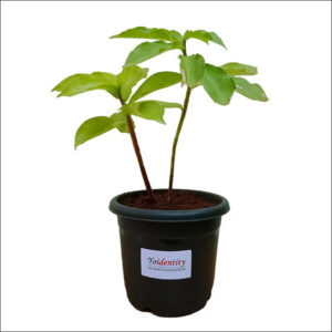 Yoidentity Insulin Plant