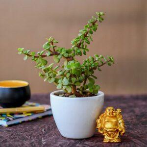 Yoidentity Jade Plant Gift