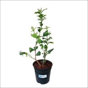 Yoidentity Jasmine Plant (Mogra)