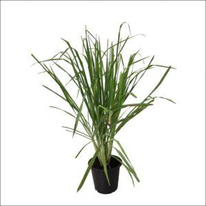 Yoidentity Lemon Grass Plant