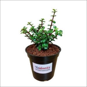 Yoidentity Lucky Jade Plant
