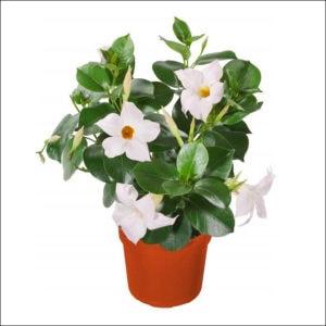 Yoidentity Mandevilla Plant (White)