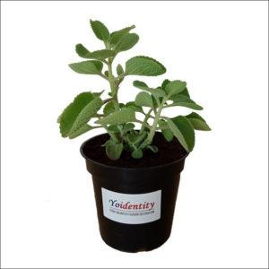 Yoidentity Mexican mint, Patharchur, Ajwain Plant