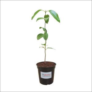 Yoidentity True Cinnamon, Bay Leaf, Tamala Patram, Tej Patta Plant