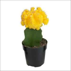 Yoidentity Grafted cactus, Moon Cactus Plant (Yellow)