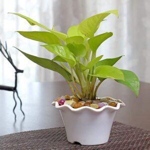 Yoidentity Money Plant Golden Gift