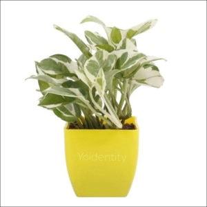 Yoidentity Money Plant (Green & White)