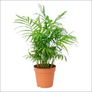 Yoidentity Chamaedorea, Bamboo Palm Plant