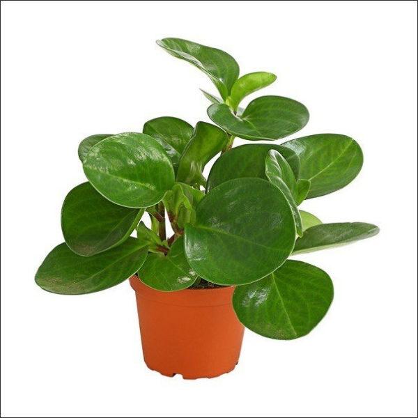 Yoidentity Peperomia Obtusifolia Plant (Green)