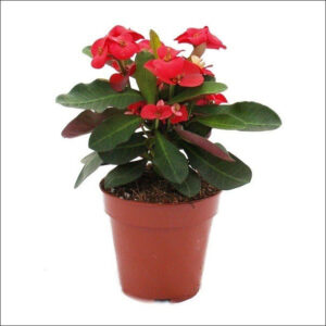 Yoidentity Euphorbia, Crown of Thorns Plant Red