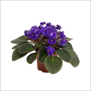 Yoidentity African Violets Purple Plant