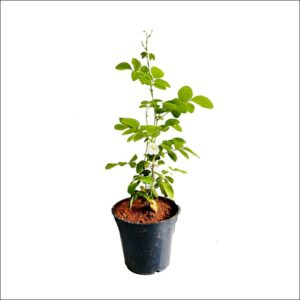 Yoidentity Clitoria Ternatea, Gokarna, Aparajita (White) Plant
