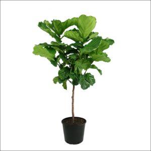Yoidentity Ficus Lyrata, Fiddle Leaf Fig Plant Extra Large