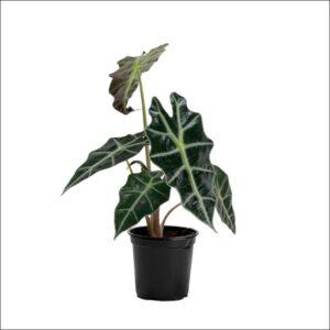 Yoidentity Alocasia Black Plant