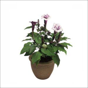 Yoidentity Datura, Dhatura Black Plant