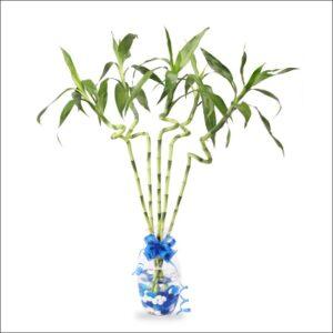 Yoidentity Lucky Bamboo Spiral Sticks, Dancing Bamboo 30 CM 5