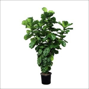 Yoidentity Ficus Lyrata, Fiddle Leaf Fig Plant XXL