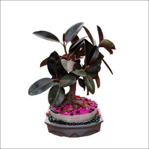 Yoidentity Bonsai Rubber Plant