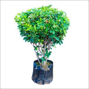 Yoidentity Ficus Panda Bush