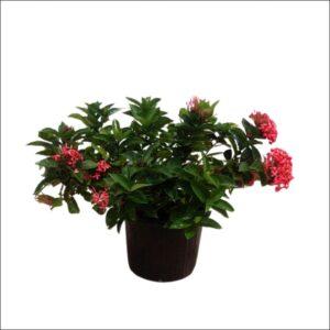 Yoidentity Ixora Plant Large