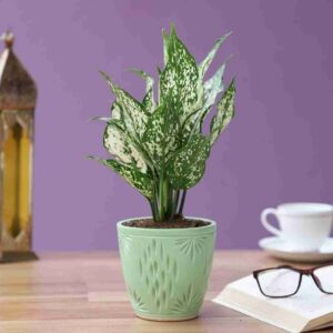 Yoidentity Aglaonema Snow White Plant