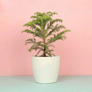 Yoidentity Christmas Tree Gift Plant