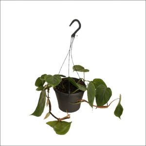 Yoidentity HeartLeaf Philodendron Green