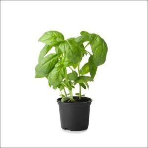 Yoidentity Italian Basil, Green Basil Plant